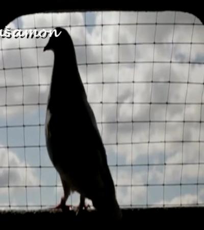 Kako je Dado puštao glinene golubove mira  na Dan svoje pobede