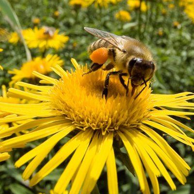 Pčele i efekat leptira
