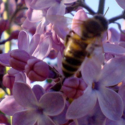 Cigansko cveće
