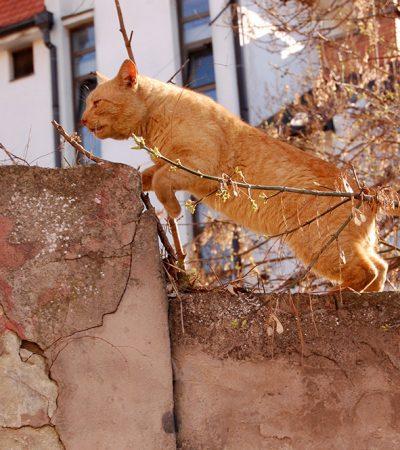 Popodnevna šetnja pančevačkog mačora