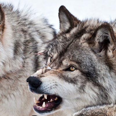Sudbina jednog vuka